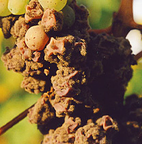 Botrytis mold on a cluster of grapes. It may be ugly, but it produces a delicious wine.